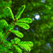 Fir branch — Stock Photo #4024033