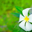 Frangipani — Stock Photo #4031639