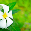 Frangipani — Stock Photo #4057544