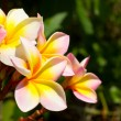 Frangipani — Stock Photo #4159456