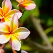 Frangipani — Stock Photo #4169223