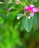 Pink myrtle — Stock Photo