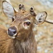 White Tail Deer - Stock Photo