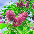 Blooming lilacs - Stock Photo