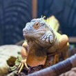 Bearded Dragon — Stock Photo