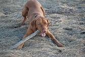 Cane vizsla con un bastone — Foto Stock