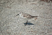 Sanderling on the Sand — Stock Photo