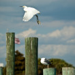 Snowy Egret Take-off from Florida Pier — Stock Photo