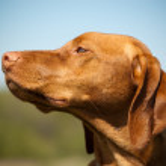 Hungarian Vizsla Dog Profile — Stock Photo