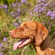 Close-up of a Vizsla Dog in Profile with Wildflowers — Stock Photo