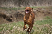 Hungarian Vizsla Dog in Grassy Field — Stock Photo