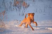 Cane vizsla in esecuzione in un campo nevoso in inverno — Foto Stock