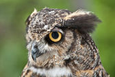 Great Horned Owl in Profile — Stock Photo