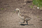 Canadian Gosling Walking in the Dirt — Stock Photo