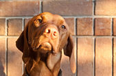 Hungarian Vizsla Dog with Brick Wall — Stock Photo
