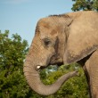 AfricElephant — Stock Photo #4131429
