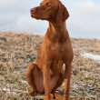 Vizsla Dog Sitting in a Snowy Field — Stock Photo