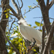 Snowy Egret Perched in a Tree - Stock Photo