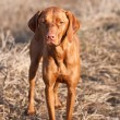 Portrait of a Standing Vizsla Dog — Stock Photo