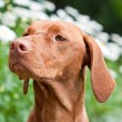 Close-up of a Vizsla Dog in a Garden — Stock Photo