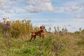 Chien Vizsla dans un champ — Photo