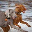 Two Dogs Running in Winter — Stock Photo #4325502