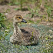 Canada Gosling in the Grass — Stock Photo