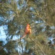Male Northern Cardinal in a Tree - Stock Photo
