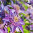 Purple Clematis Flowers — Stock Photo