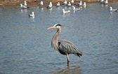 Great Blue Heron Wading in a Suburban Pond — Stock Photo