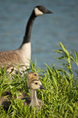 Canada Goslings with Goose — Stock Photo