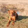 Crouching Vizsla Dog (Hungarian Pointer) — Stock Photo