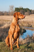 Vizsla Dog Sitting in a Field — Stock Photo