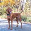 Vizsla Portrait on a Road with Autumn Leaves — Stock Photo