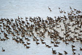 Canada Geese on an Icy Pond — Stock Photo