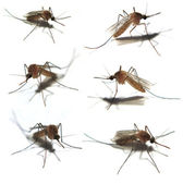 Six Isolated mosquitoes — Stock Photo