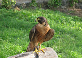 Peregrine Falcon close up over a tree trunk — Stock Photo