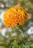 Zempazuchitl Flower Close Up — Stock Photo