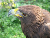 Golden Eagle Closeup from the side — Stock Photo