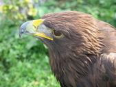 Closeup águila desde el lado — Foto de Stock