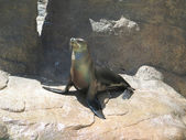 Sealion on rocks showing its territory. — Stock Photo