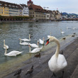 White Swan in Lucerne, Switzerland — Stock Photo