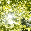 Green leafs with sun ray — Foto de Stock