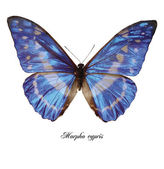 Morpho cypris — Stock Photo