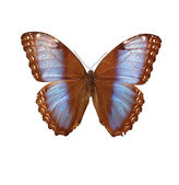 Morpho_hydorina — Stock Photo