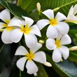 Stock Photo: White Plumeria