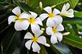 White Plumeria — Stock Photo