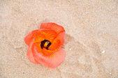 Portia pomarańczowy kwiat na piasku — Zdjęcie stockowe