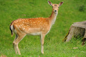 Young female deer — Stock Photo