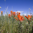 Colorado Wildflowers — Foto Stock
